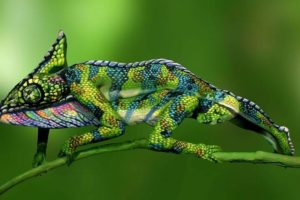 If You Think This is a Chameleon, You're Not Looking Close Enough