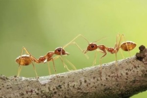 Scientists Think Psoriasis Could be Cured With… Fire Ants