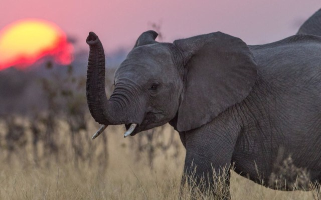 Study Shows Elephants Avoid Cancer with 'Zombie' Gene