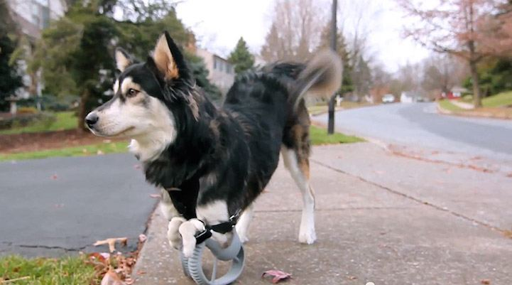 Dog Running With Newfound Legs is the Cutest Thing You'll See Today